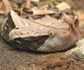 Viper snake Stock Photo 07