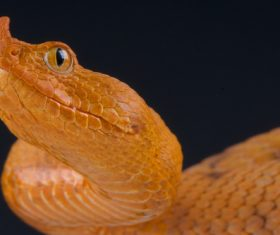 Viper snake Stock Photo 08