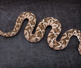Viper snake Stock Photo 12