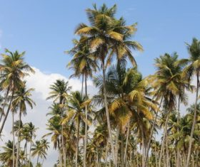 a small piece of coconut grove Stock Photo 01