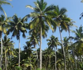 a small piece of coconut grove Stock Photo 03