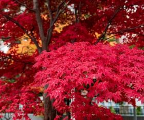 Autumn flaming maple leaves Stock Photo