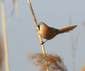 Bearded Reedling on a reed Stock Photo 01