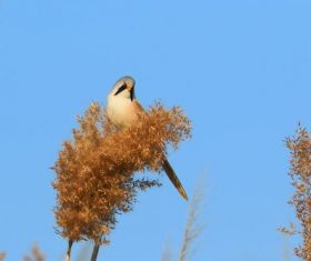 Bearded Reedling on a reed Stock Photo 02