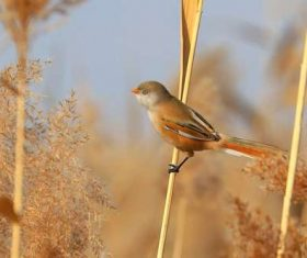 Bearded Reedling on a reed Stock Photo 03