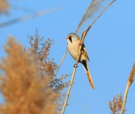Bearded Reedling on a reed Stock Photo 05