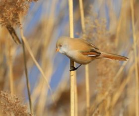 Bearded Reedling on a reed Stock Photo 06