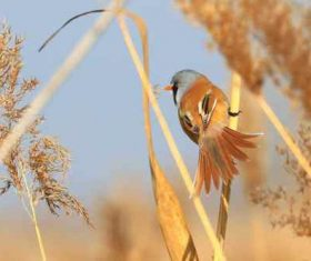 Bearded Reedling on a reed Stock Photo 07