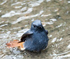 Bird watching plumbeous water redstart Stock Photo 02
