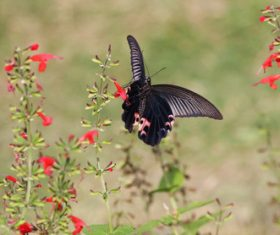 Black swallowtail butterfly sucking pollen Stock Photo 05