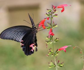 Black swallowtail butterfly sucking pollen Stock Photo 10