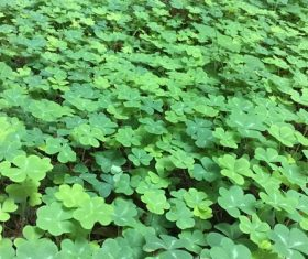 Blackish green clover Stock Photo 01