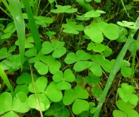 Blackish green clover Stock Photo 02