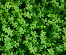 Blackish green clover Stock Photo 03
