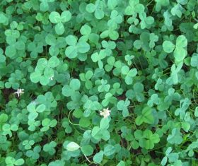 Blackish green clover Stock Photo 04