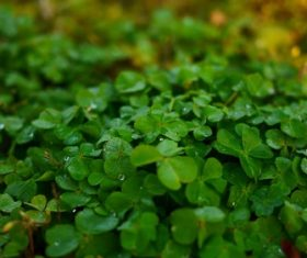 Blackish green clover Stock Photo 07