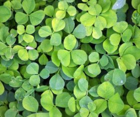 Blackish green clover Stock Photo 08
