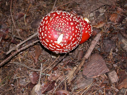 Brightly colored poisonous mushrooms Stock Photo 02
