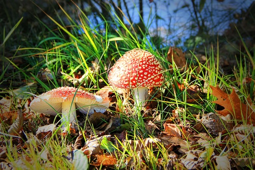 Brightly colored poisonous mushrooms Stock Photo 08