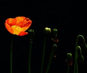 Colorful corn poppy flowers Stock Photo 04
