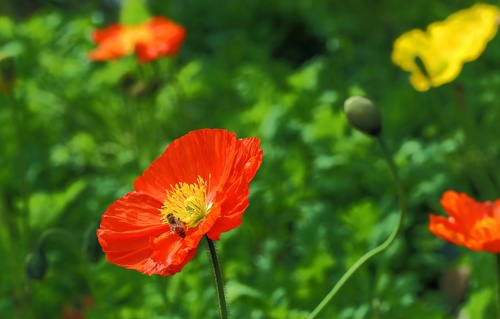 Colorful corn poppy flowers Stock Photo 06