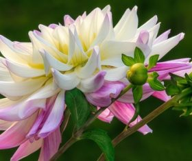 Colorful dahlia Stock Photo 01