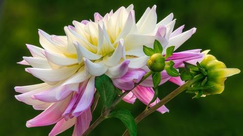 Colorful dahlia Stock Photo 01
