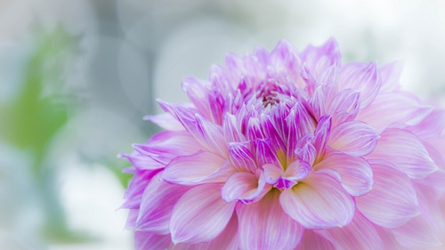 Colorful dahlia Stock Photo 03