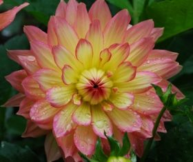Colorful dahlia Stock Photo 04