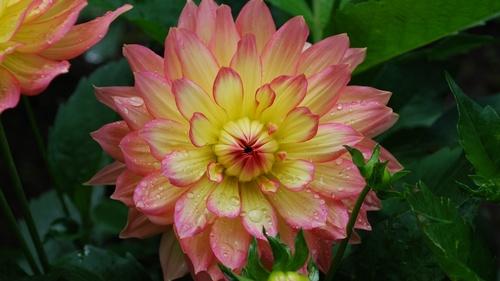 Colorful dahlia Stock Photo 04