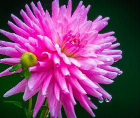 Colorful dahlia Stock Photo 06
