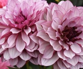 Colorful dahlia Stock Photo 07