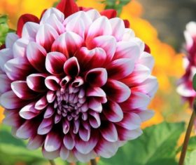 Colorful dahlia Stock Photo 09
