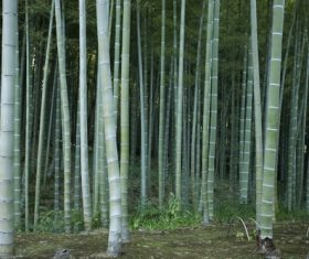 Dense green bamboo forest Stock Photo