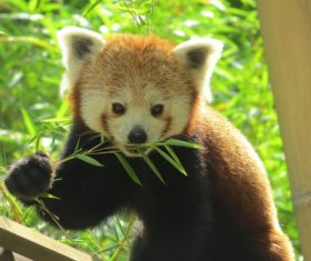 Eat bamboo leaves red panda Stock Photo 01