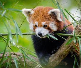 Eat bamboo leaves red panda Stock Photo 02