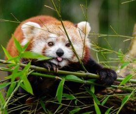 Eat bamboo leaves red panda Stock Photo 03