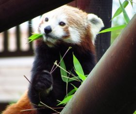 Eat bamboo leaves red panda Stock Photo 05