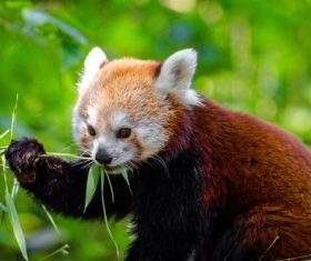 Eat bamboo leaves red panda Stock Photo 06