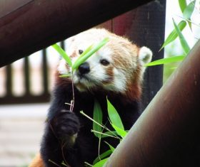 Eat bamboo leaves red panda Stock Photo 07