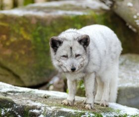 Fierce Arctic Wolf Stock Photo 01