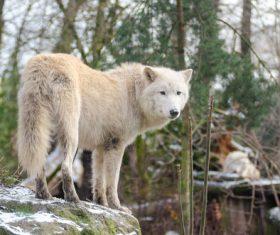 Fierce Arctic Wolf Stock Photo 02