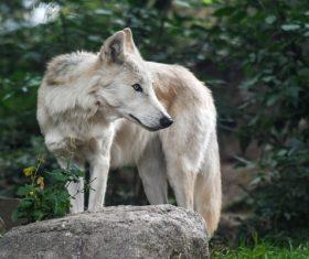 Fierce Arctic Wolf Stock Photo 03