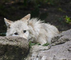 Fierce Arctic Wolf Stock Photo 04