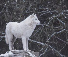 Fierce Arctic Wolf Stock Photo 05