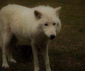 Fierce Arctic Wolf Stock Photo 06