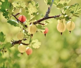Gooseberry on a branch Stock Photo 01