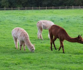 Grazing alpacas Stock Photo