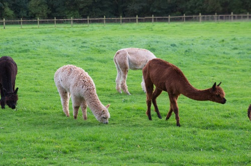 Grazing alpacas Stock Photo