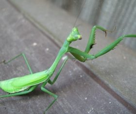Green mantis Stock Photo 05